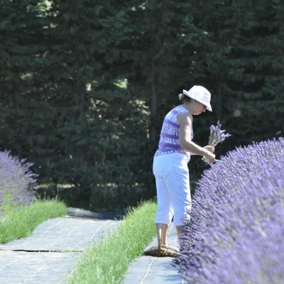 Young and mature lavender plants at Lost Mountain Lavender Farm